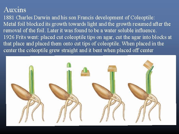 Auxins 1881 Charles Darwin and his son Francis development of Coleoptile: Metal foil blocked