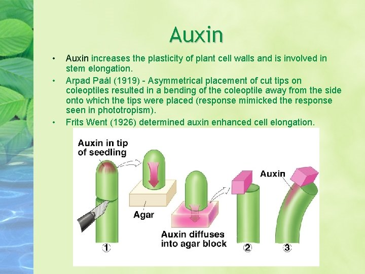Auxin • • • Auxin increases the plasticity of plant cell walls and is