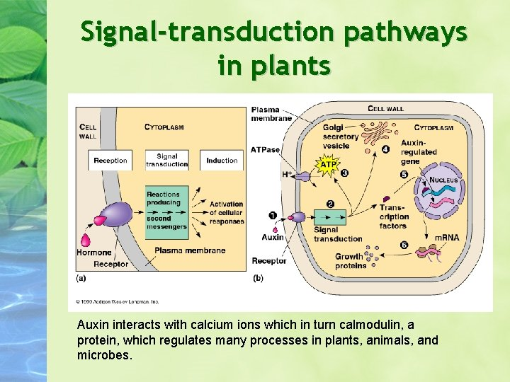 Signal-transduction pathways in plants Auxin interacts with calcium ions which in turn calmodulin, a