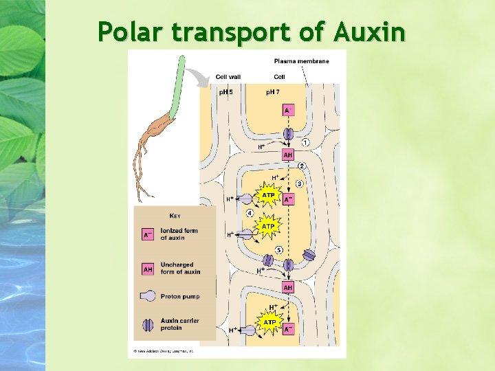 Polar transport of Auxin
