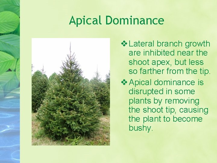 Apical Dominance Lateral branch growth are inhibited near the shoot apex, but less so