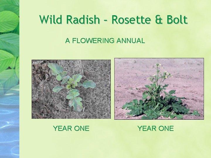 Wild Radish – Rosette & Bolt A FLOWERING ANNUAL YEAR ONE