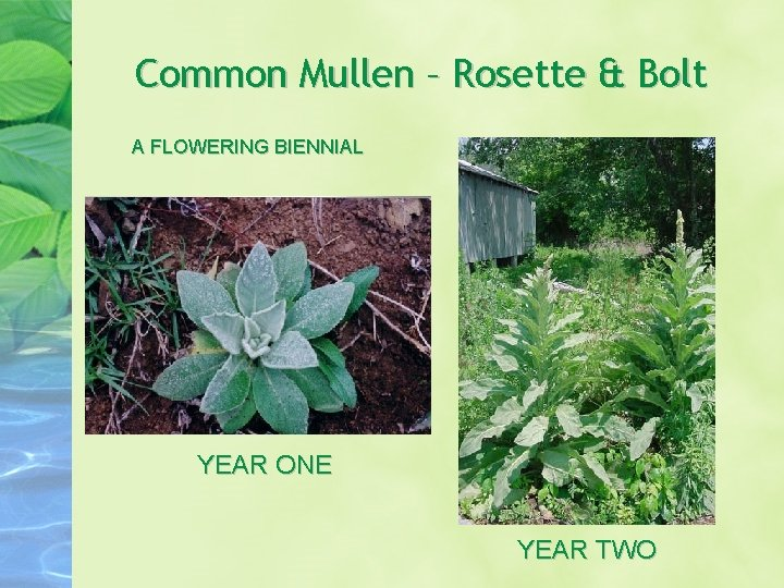 Common Mullen – Rosette & Bolt A FLOWERING BIENNIAL YEAR ONE YEAR TWO