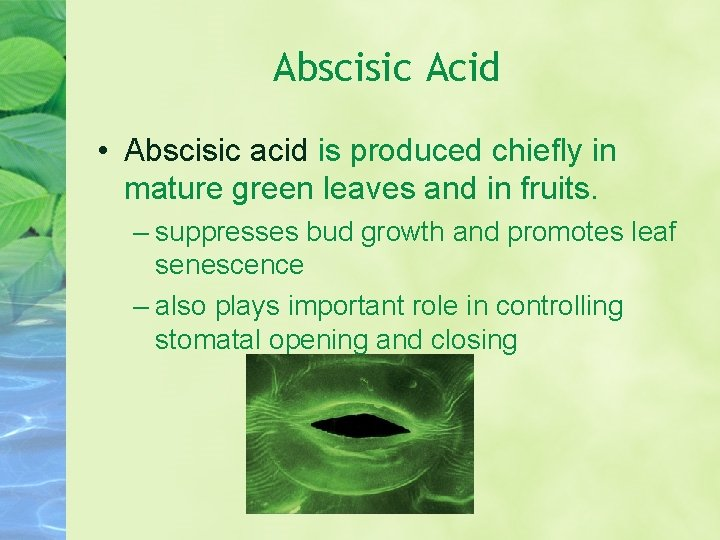 Abscisic Acid • Abscisic acid is produced chiefly in mature green leaves and in