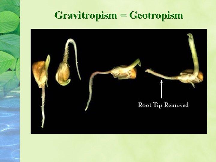 Gravitropism = Geotropism