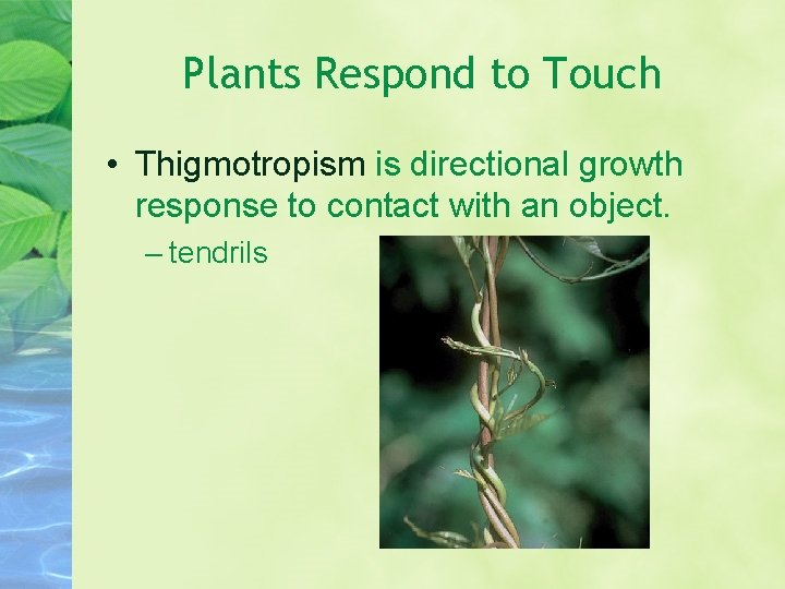 Plants Respond to Touch • Thigmotropism is directional growth response to contact with an