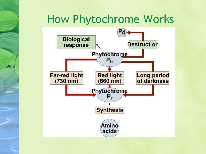 How Phytochrome Works