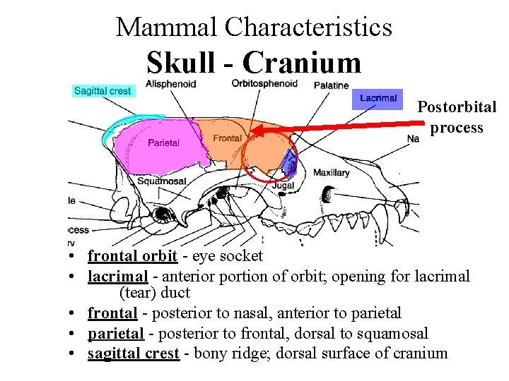 The reptilian skull ridge