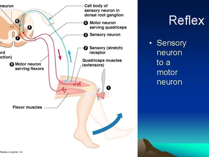 Reflex • Sensory neuron to a motor neuron