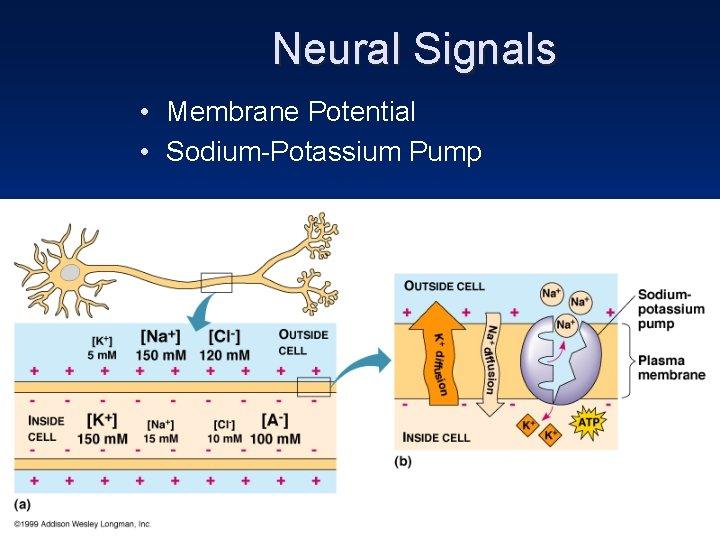 Neural Signals • Membrane Potential • Sodium-Potassium Pump