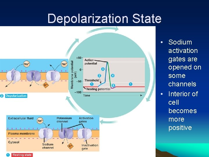 Depolarization State • Sodium activation gates are opened on some channels • Interior of