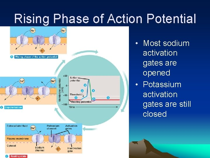 Rising Phase of Action Potential • Most sodium activation gates are opened • Potassium