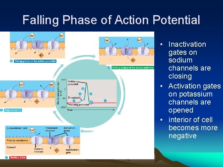 Falling Phase of Action Potential • Inactivation gates on sodium channels are closing •