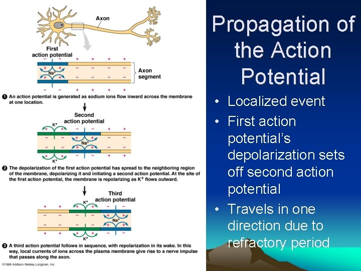 Propagation of the Action Potential • Localized event • First action potential's depolarization sets
