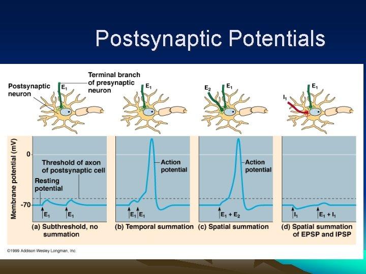 Postsynaptic Potentials