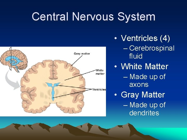 Central Nervous System • Ventricles (4) – Cerebrospinal fluid • White Matter – Made