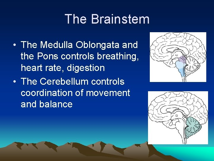 The Brainstem • The Medulla Oblongata and the Pons controls breathing, heart rate, digestion