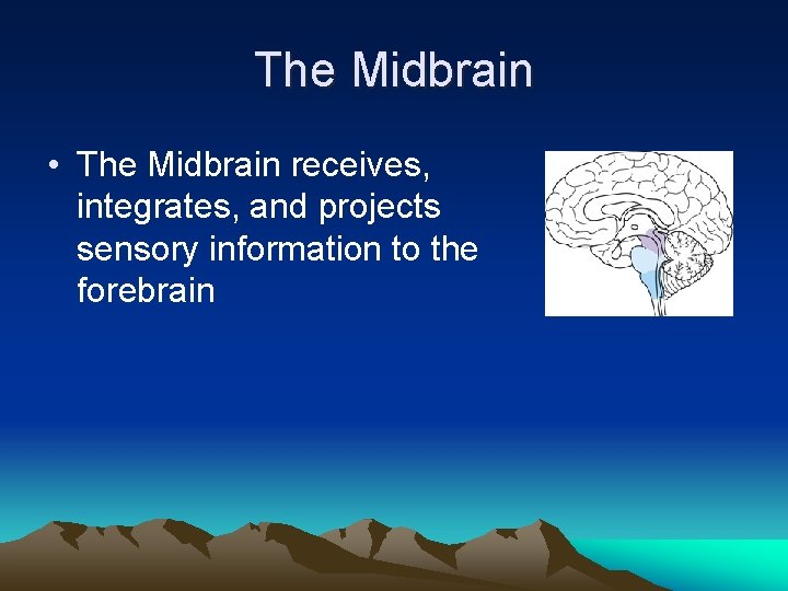 The Midbrain • The Midbrain receives, integrates, and projects sensory information to the forebrain