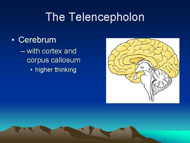 The Telencepholon • Cerebrum – with cortex and corpus callosum • higher thinking