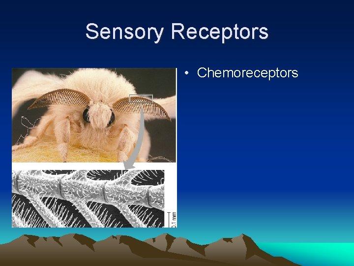 Sensory Receptors • Chemoreceptors