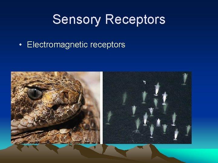 Sensory Receptors • Electromagnetic receptors