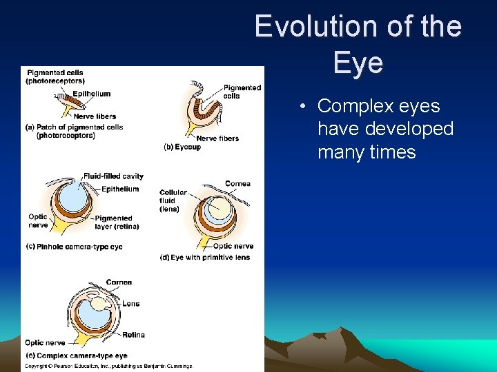 Evolution of the Eye • Complex eyes have developed many times