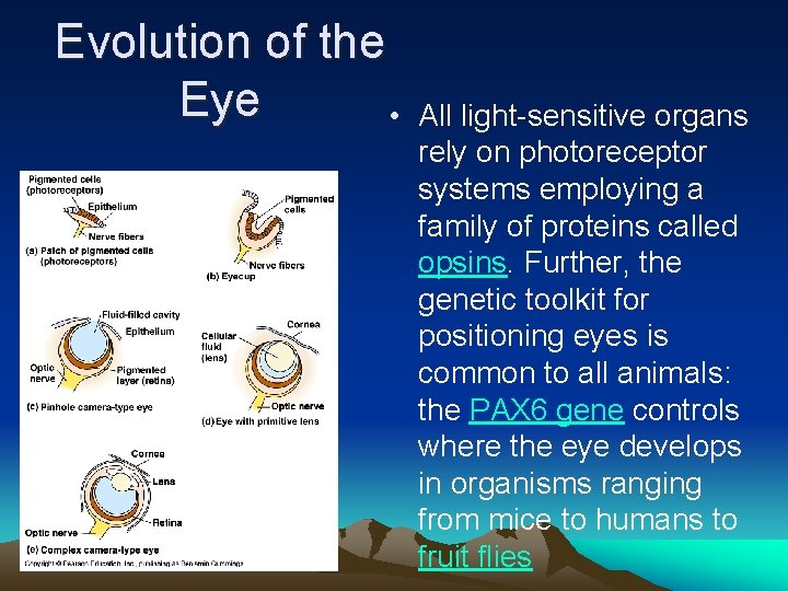 Evolution of the Eye • All light-sensitive organs rely on photoreceptor systems employing a