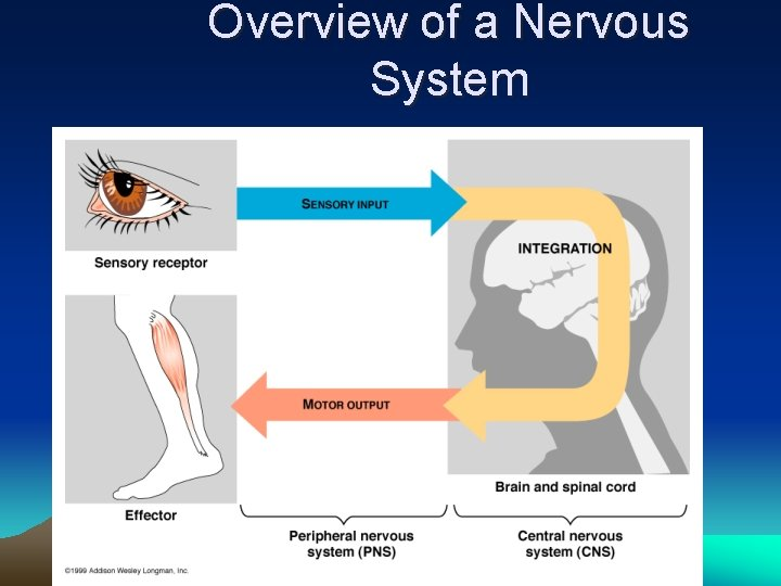 Overview of a Nervous System