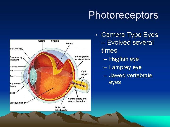 Photoreceptors • Camera Type Eyes – Evolved several times – Hagfish eye – Lamprey