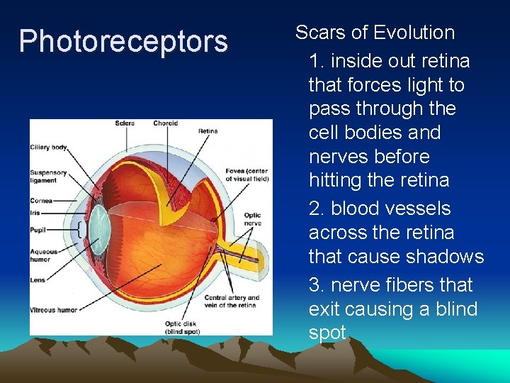 Photoreceptors Scars of Evolution 1. inside out retina that forces light to pass through