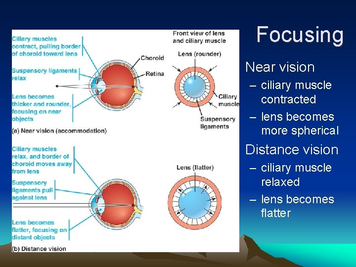 Focusing • Near vision – ciliary muscle contracted – lens becomes more spherical •