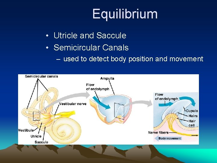 Equilibrium • Utricle and Saccule • Semicircular Canals – used to detect body position