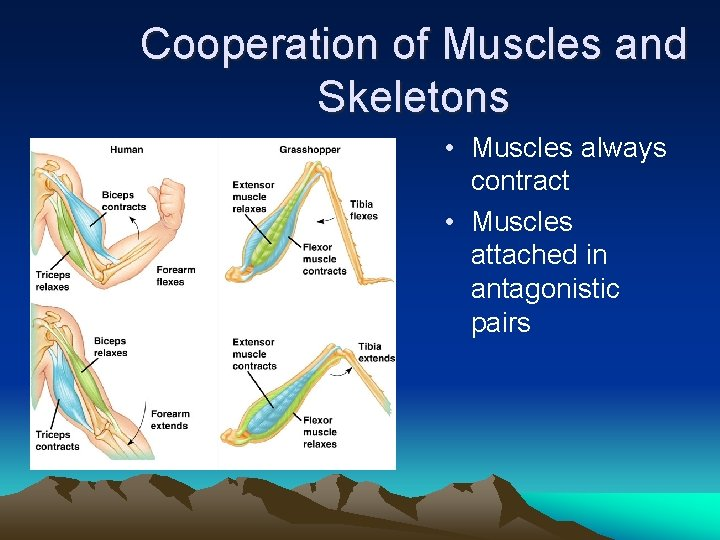 Cooperation of Muscles and Skeletons • Muscles always contract • Muscles attached in antagonistic