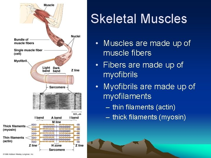 Skeletal Muscles • Muscles are made up of muscle fibers • Fibers are made