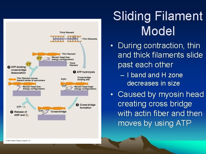 Sliding Filament Model • During contraction, thin and thick filaments slide past each other