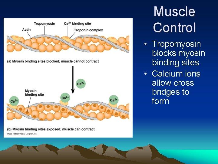Muscle Control • Tropomyosin blocks myosin binding sites • Calcium ions allow cross bridges