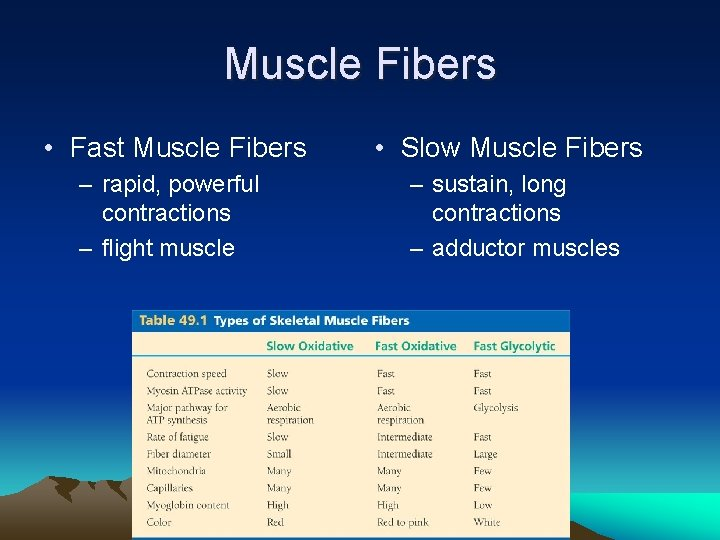 Muscle Fibers • Fast Muscle Fibers • Slow Muscle Fibers – rapid, powerful contractions