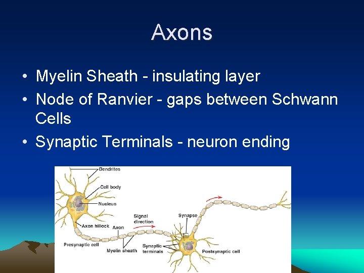 Axons • Myelin Sheath - insulating layer • Node of Ranvier - gaps between