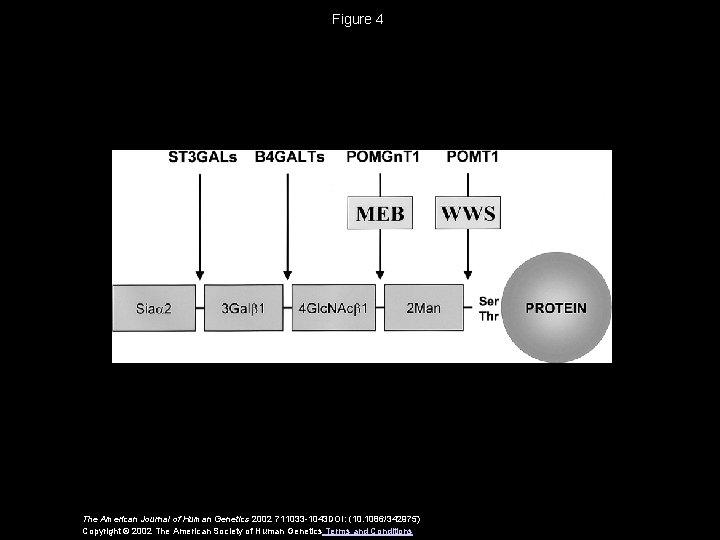 Figure 4 The American Journal of Human Genetics 2002 711033 -1043 DOI: (10. 1086/342975)