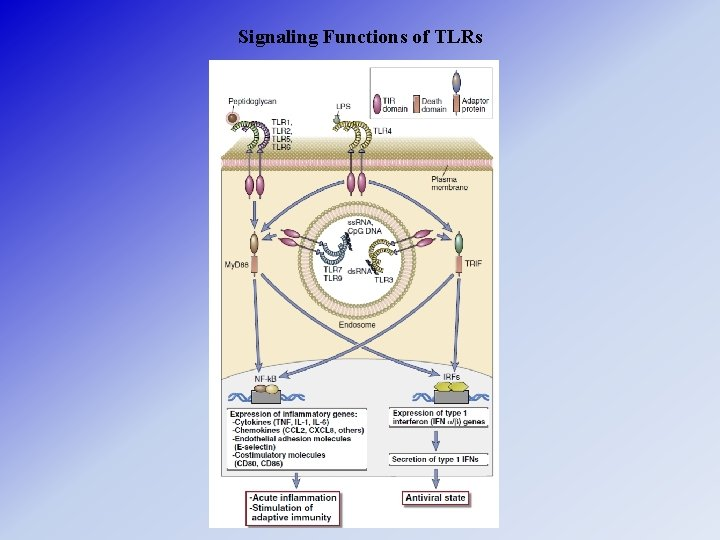 Signaling Functions of TLRs