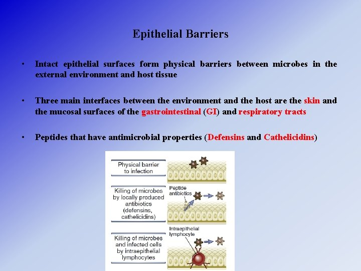Epithelial Barriers • Intact epithelial surfaces form physical barriers between microbes in the external