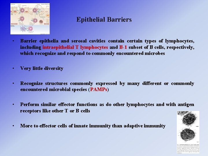 Epithelial Barriers • Barrier epithelia and serosal cavities contain certain types of lymphocytes, including