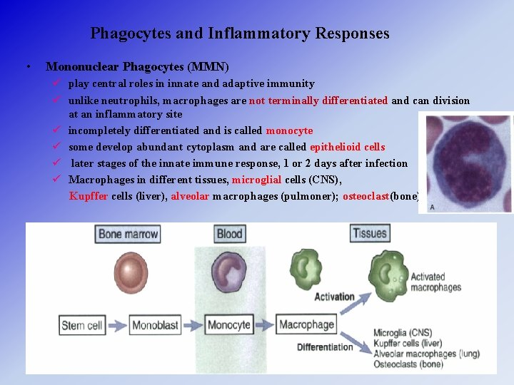 Phagocytes and Inflammatory Responses • Mononuclear Phagocytes (MMN) ü play central roles in innate