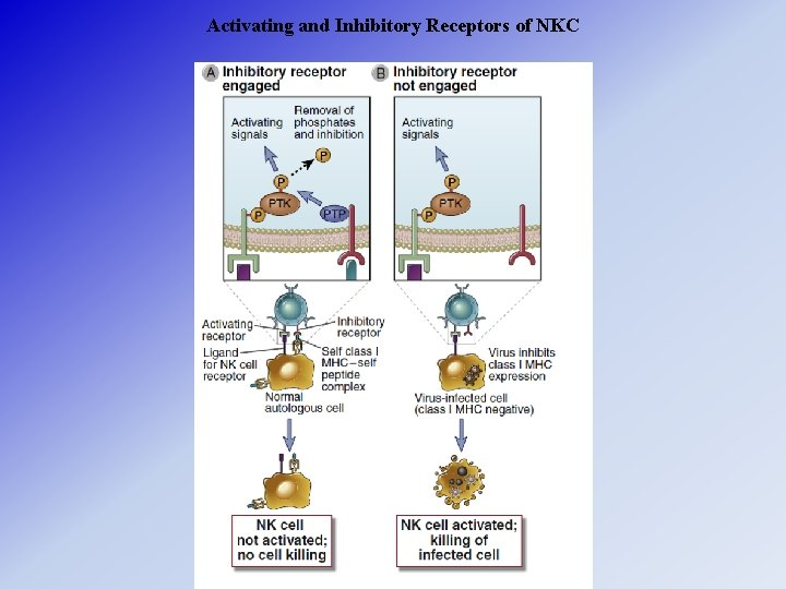 Activating and Inhibitory Receptors of NKC