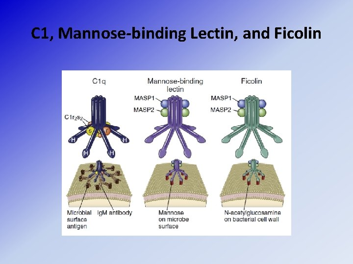C 1, Mannose-binding Lectin, and Ficolin