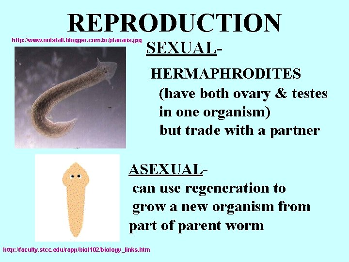 REPRODUCTION http: //www. notatall. blogger. com. br/planaria. jpg SEXUALHERMAPHRODITES (have both ovary & testes