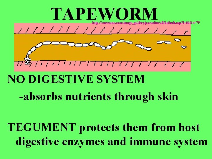 TAPEWORM http: //curezone. com/image_gallery/parasites/all/default. asp? i=66&n=75 NO DIGESTIVE SYSTEM -absorbs nutrients through skin TEGUMENT