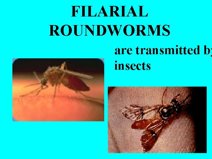 FILARIAL ROUNDWORMS are transmitted by insects