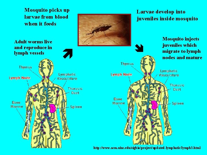 Mosquito picks up larvae from blood when it feeds Adult worms live and reproduce