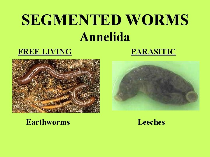 SEGMENTED WORMS Annelida FREE LIVING Earthworms PARASITIC Leeches